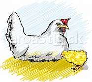 Chicken in a poultry farm