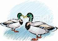 Ducks on a farm